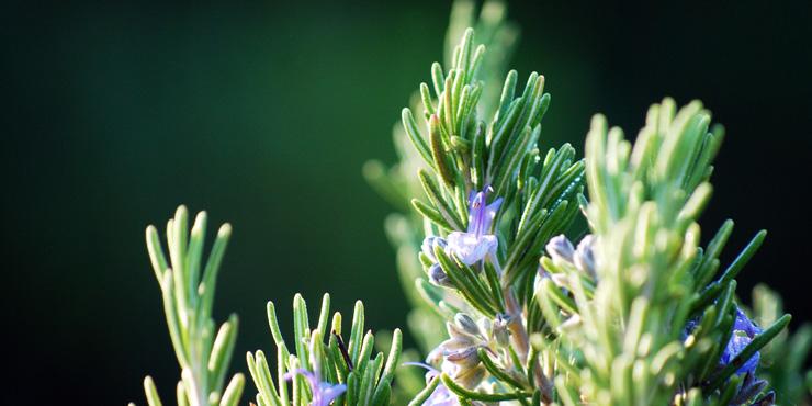 Somatic Organic Intelligence Rosemary